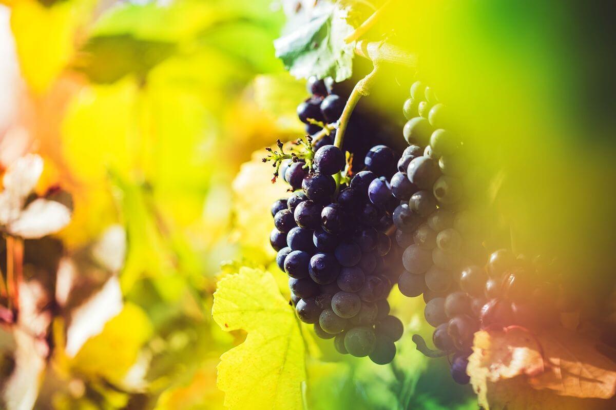 Rotwein-Trauben