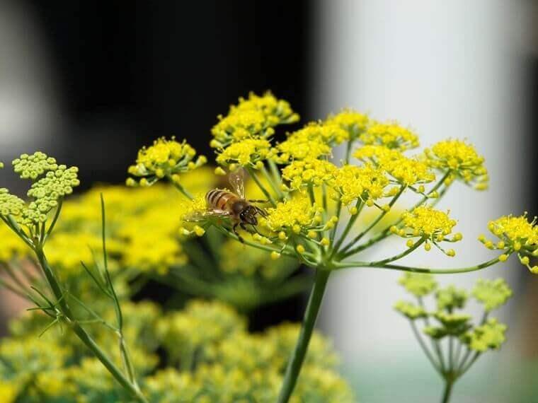 Fenchel-Blume