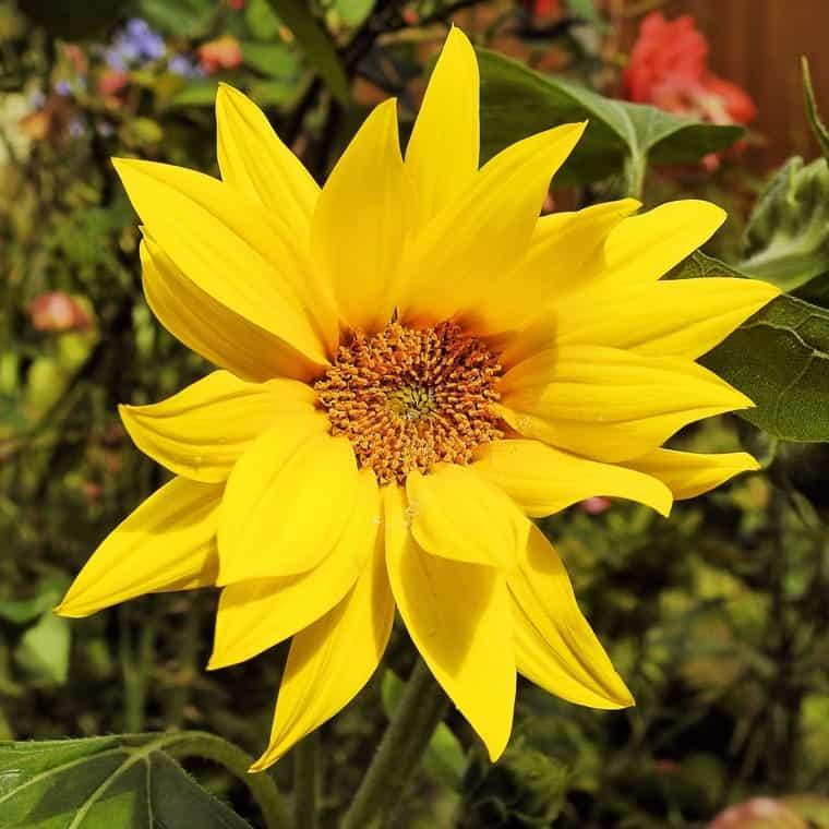 Topinambur-Blüte