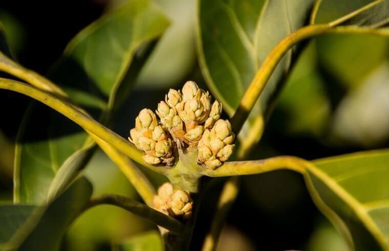 Avocado-Knospe