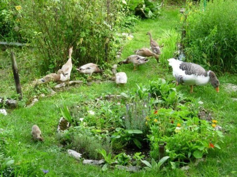 Enten und Gänse als Gartenhelfer - Permakultur
