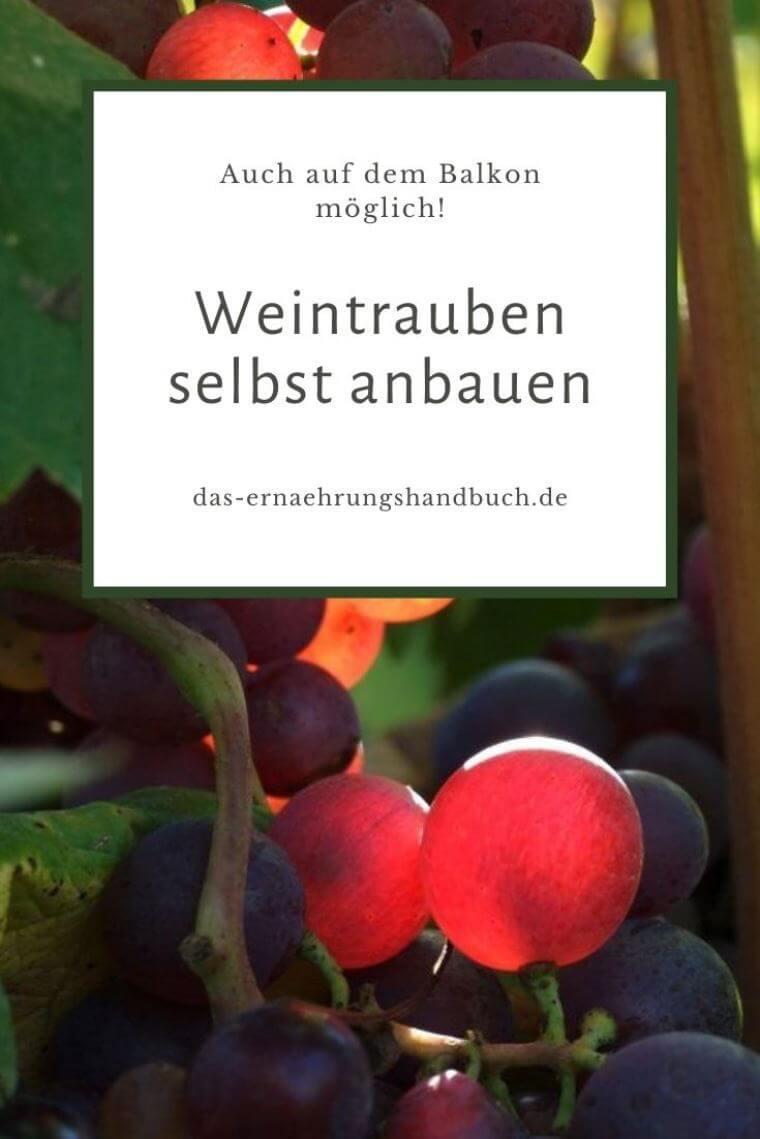 Weintrauben anbauen