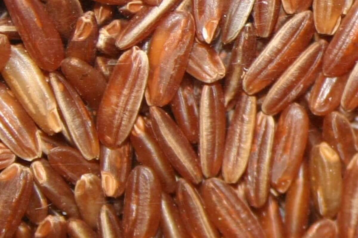 Rotgeflügelter Reis (Oryza glaberrima)