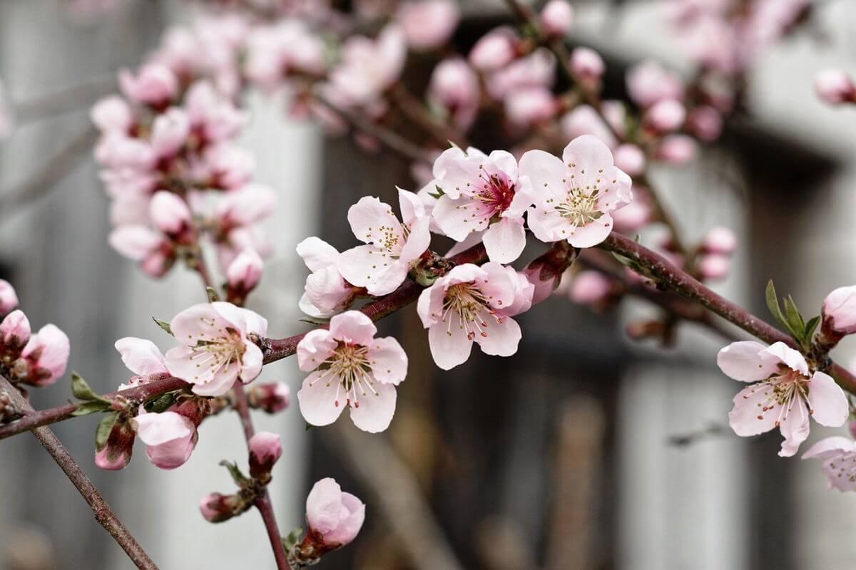 Nektarine-Blüte